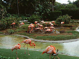 Flamingos im Honolulu Zoo © rjones0856