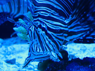 A venomous lionfish from the aquarium at Sertoma Park in Sioux Falls, SD. © mrsdkrebs
